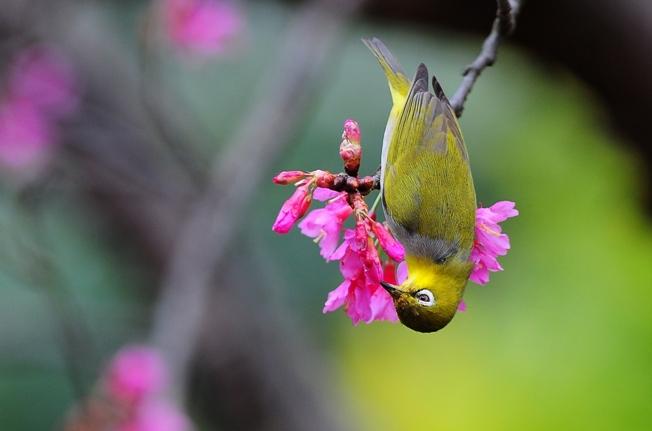 尋訪生活中的綠繡眼精靈!