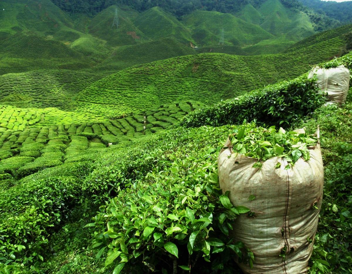台灣經典茶品代表:台灣木柵鐵觀音
