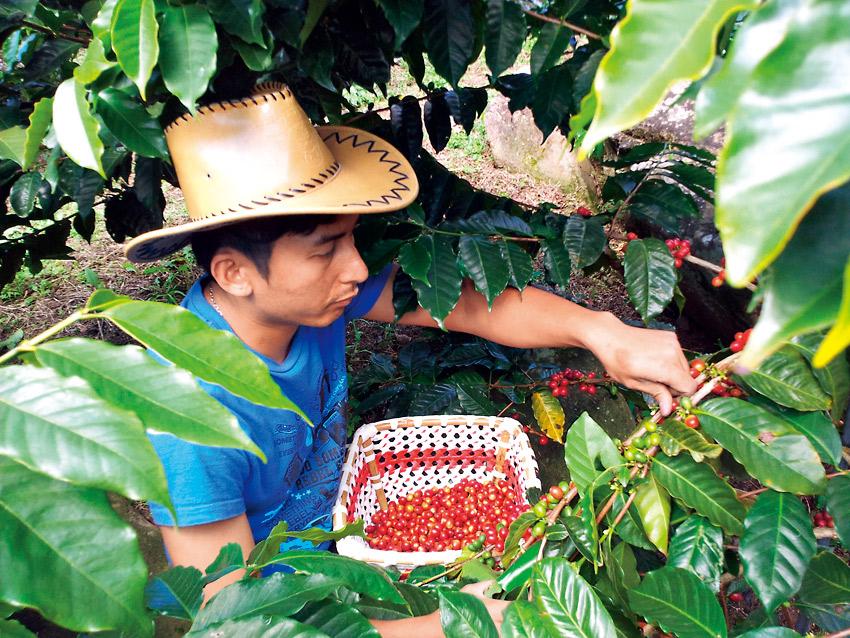 阿里山咖啡農