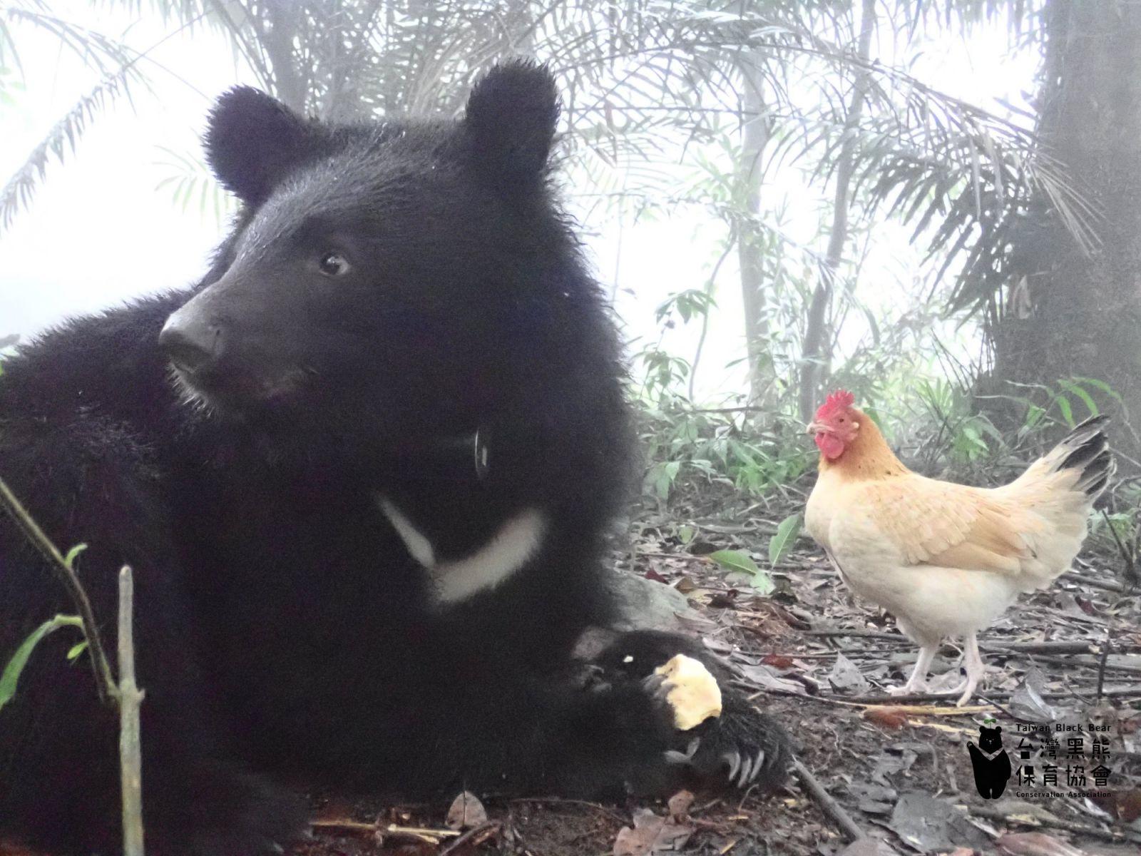 從「糧食」變成了朋友?結束九個月與母雞的奇幻冒險 南安小黑熊準備返山入林