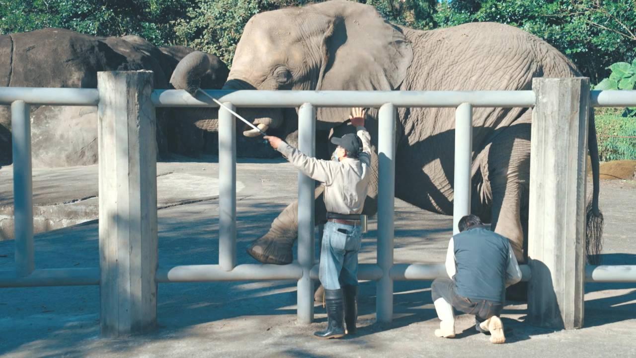 資深保育員張天勇在臺北市立動物園照養大象超過10年,大象已懂得將腳抬起