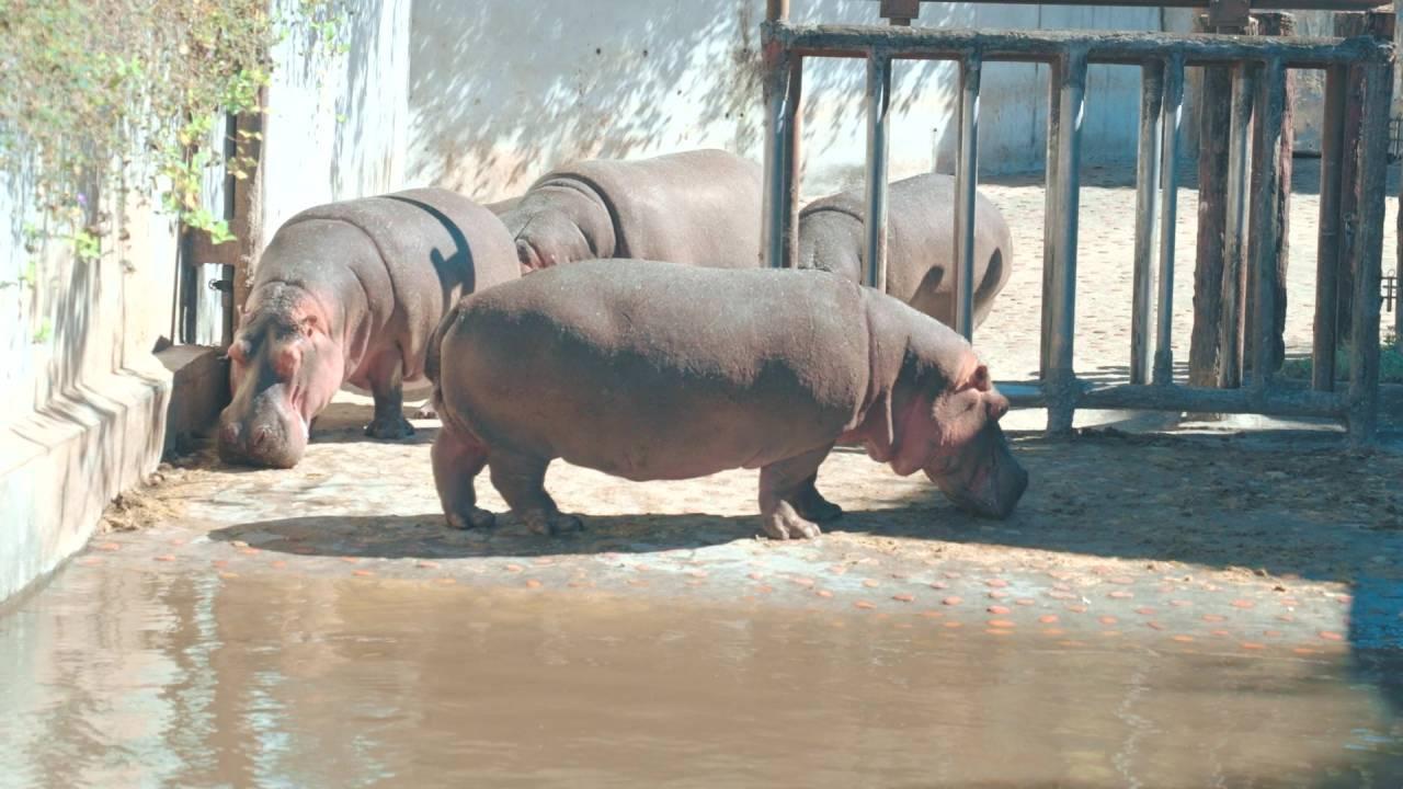 位於臺北市立動物園的母河馬群
